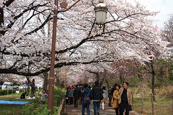 桜ウォーキング